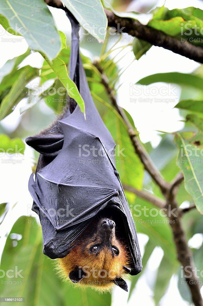Hanging flying fox or big bat stock photo