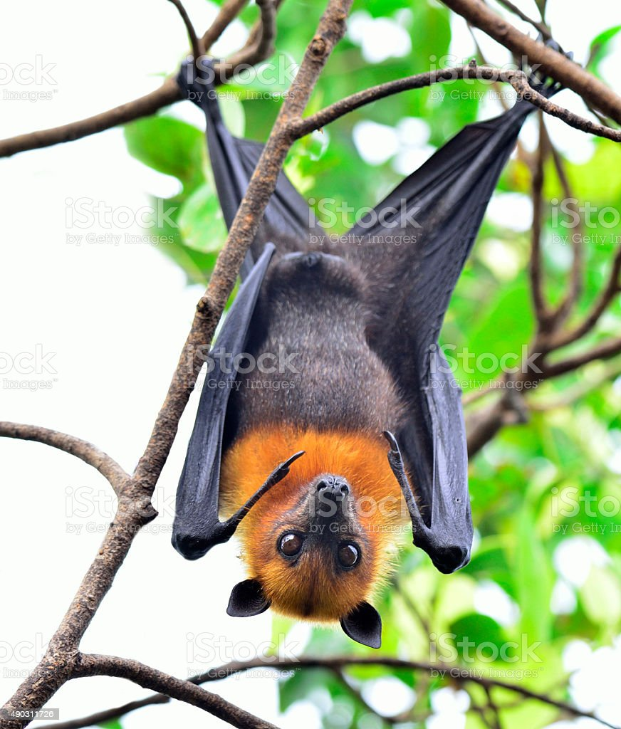 Hanging flying fox or big bat with big eyes hanging stock photo