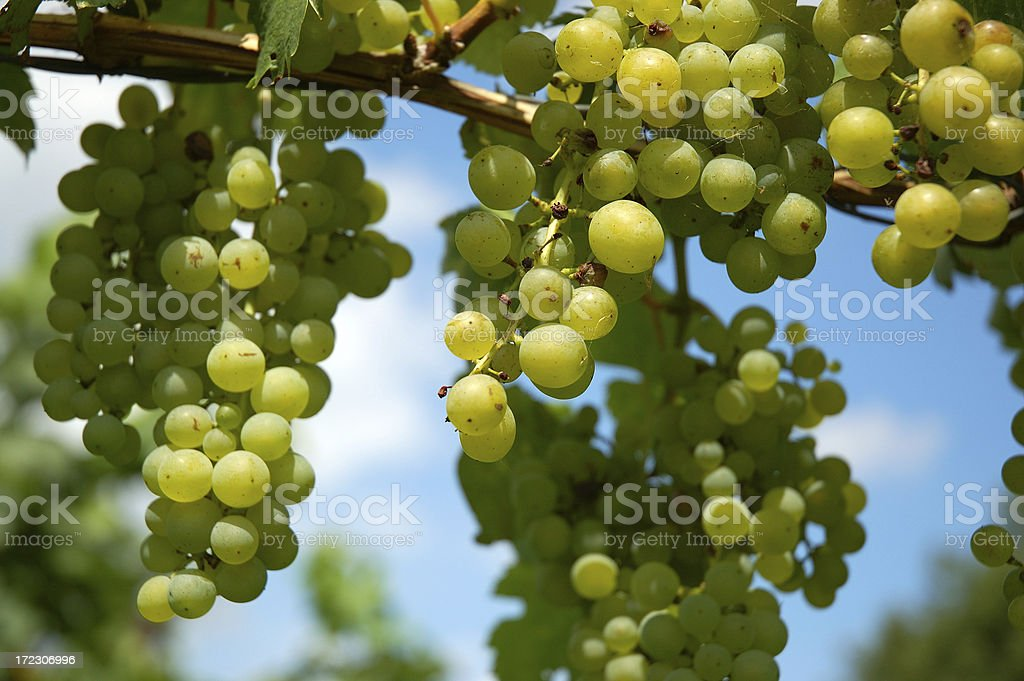 Hanging Grapes royalty-free stock photo