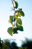 Hanging Leaves with blurred bsckground