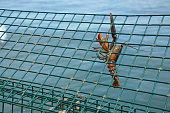 Hanging Lobster