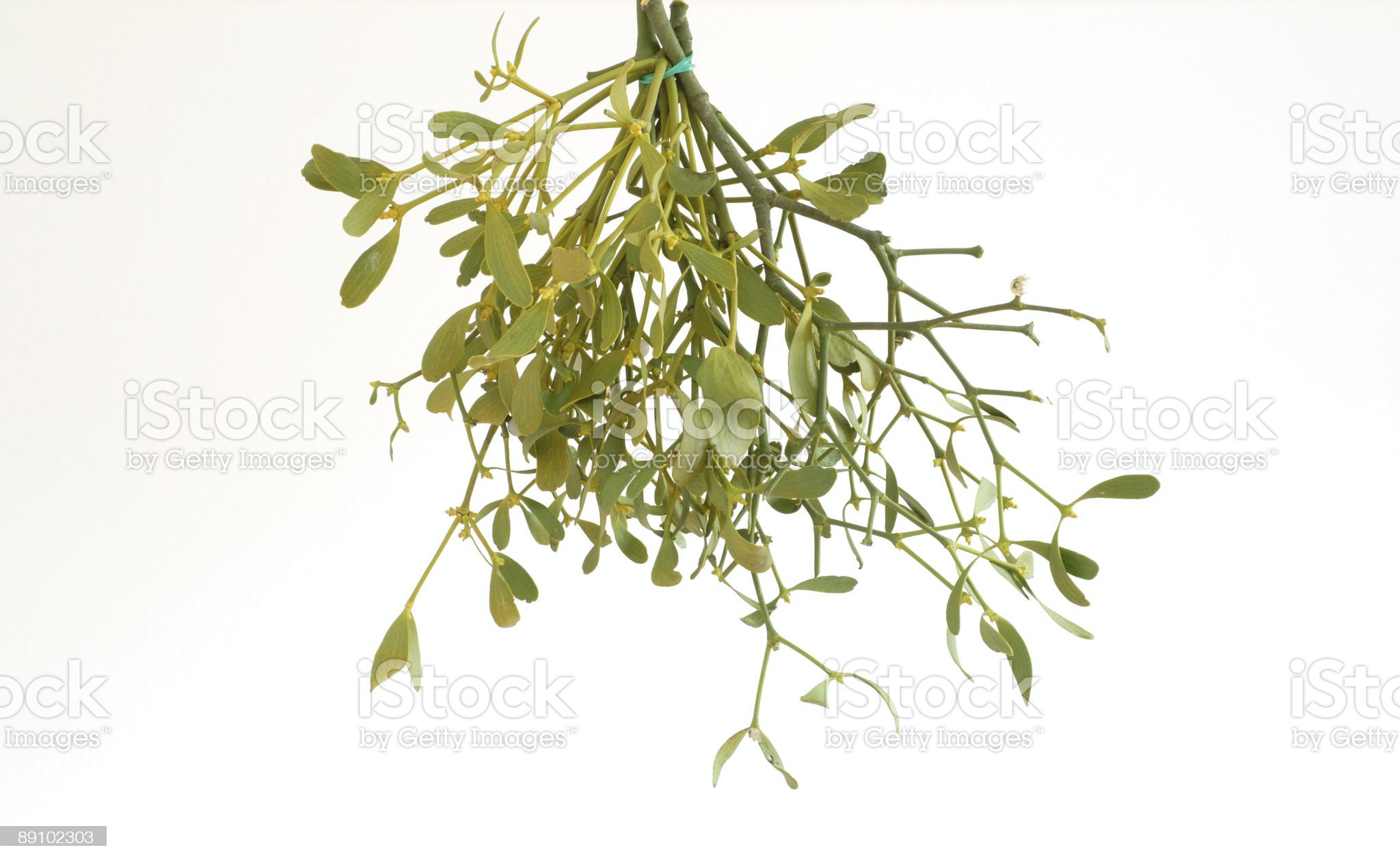 Hanging mistletoe against a white background royalty-free stock photo