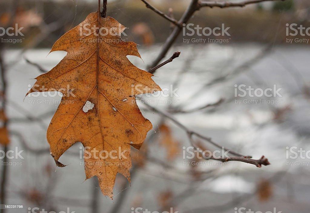 Hanging Oak Leaf royalty-free stock photo