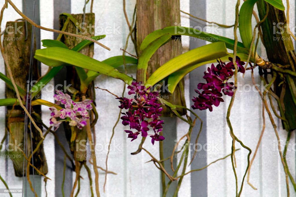 hanging orchid flowers stock photo