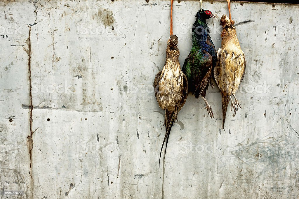 Hanging pheasants royalty-free stock photo