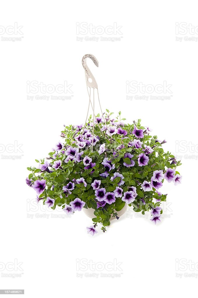 Hanging purple petunias isolated on a white background stock photo