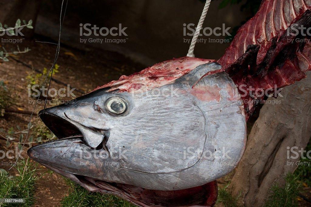 hanging skeleton of tuna fish stock photo