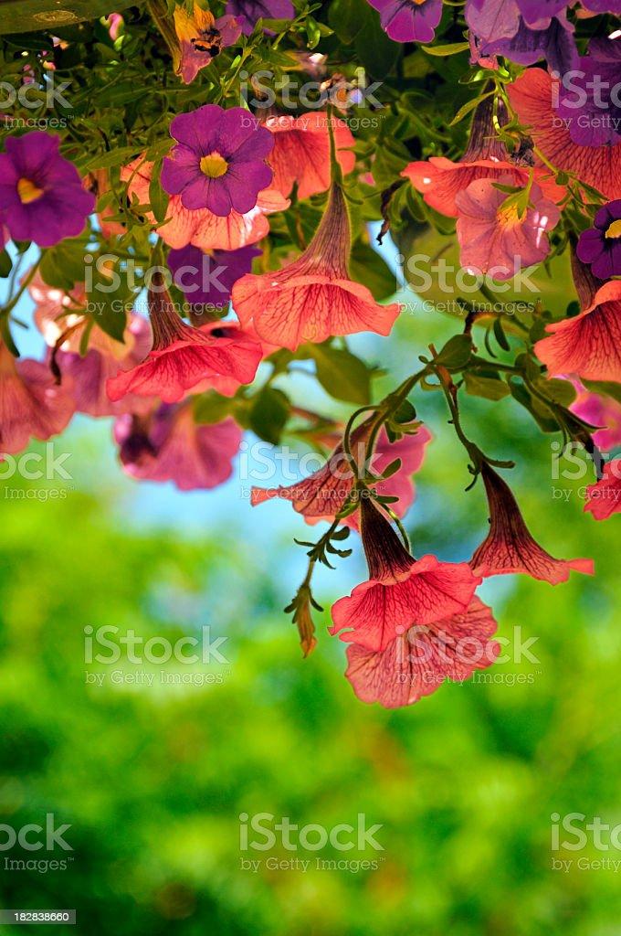 Hanging Summer Petunias stock photo