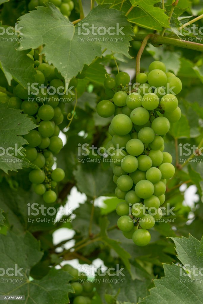 hanging unripe unpicked green grapes - organic agriculture stock photo