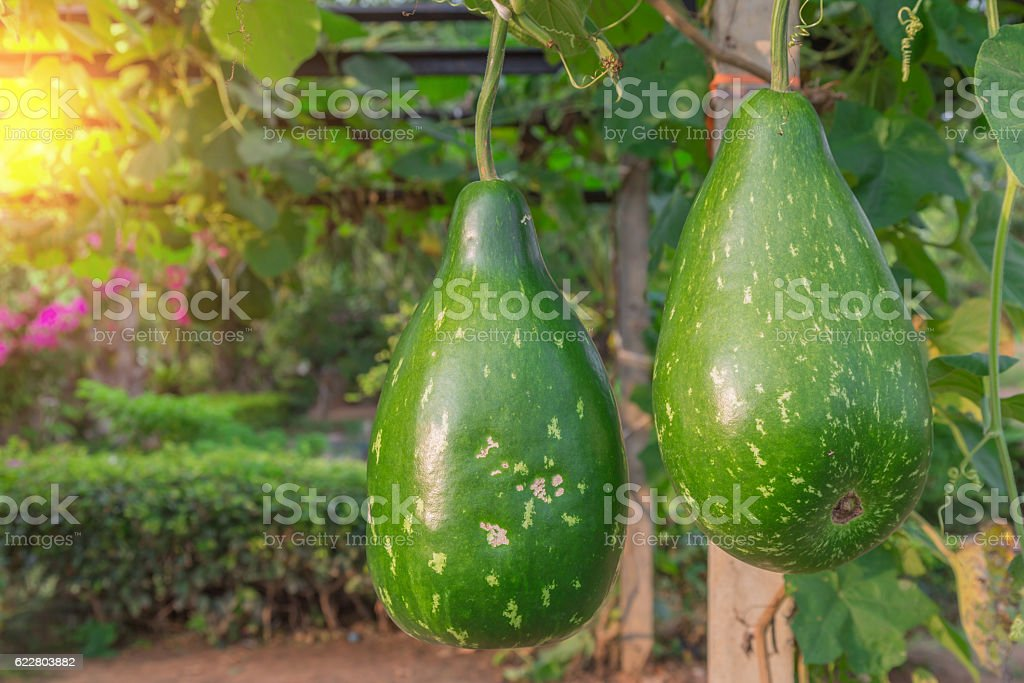 Hanging winter melon in the garden and sunlight of sunset. stock photo