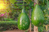 Hanging winter melon in the garden and sunlight of sunset.
