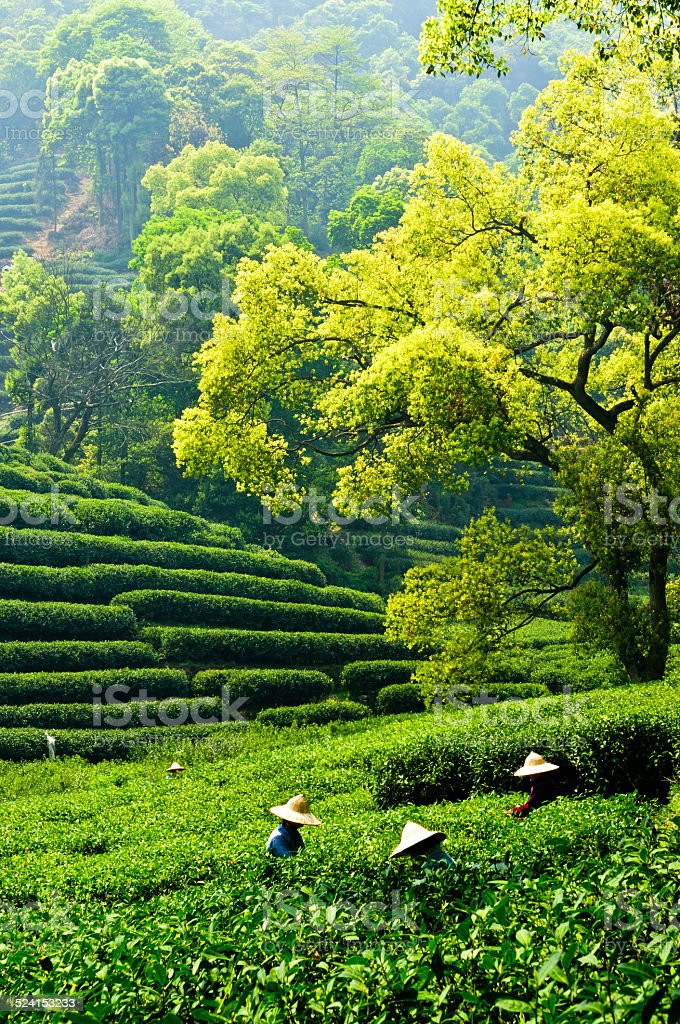 Hangzhou west lake longjing tea garden scenery stock photo