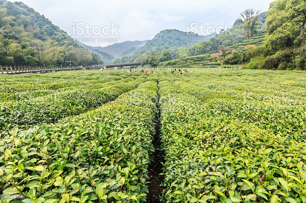 Hangzhou west lake longjing tea garden scenery?china stock photo