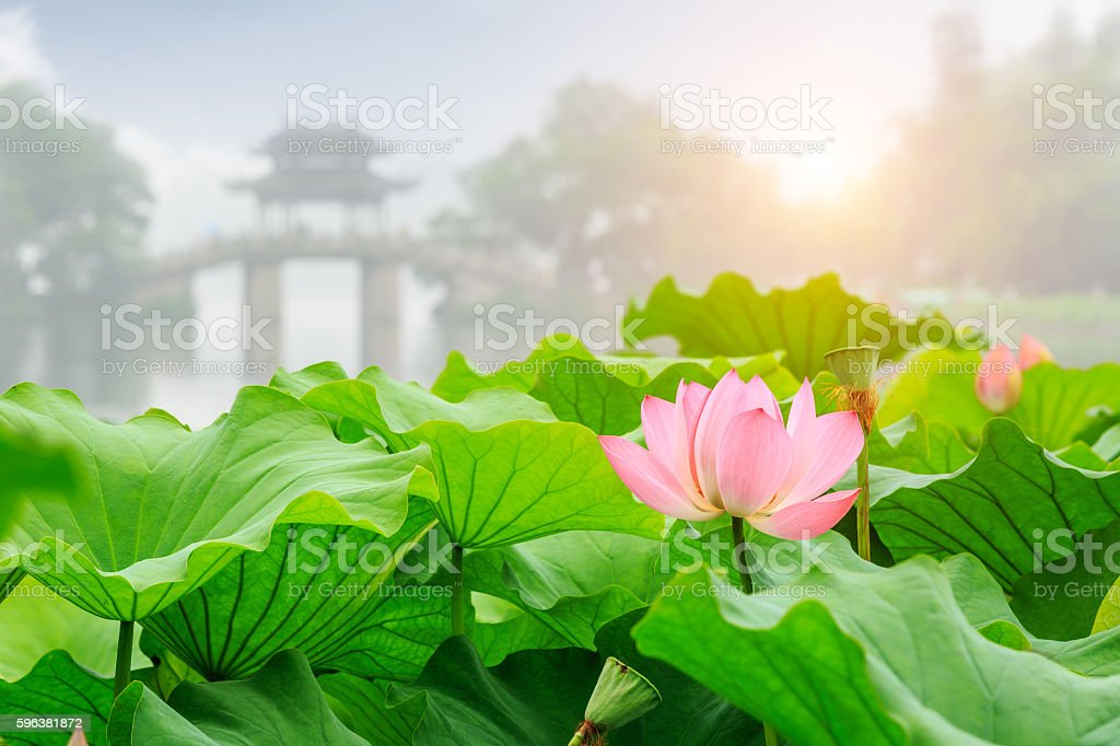 Hangzhou West Lake lotus bloom in the summer stock photo
