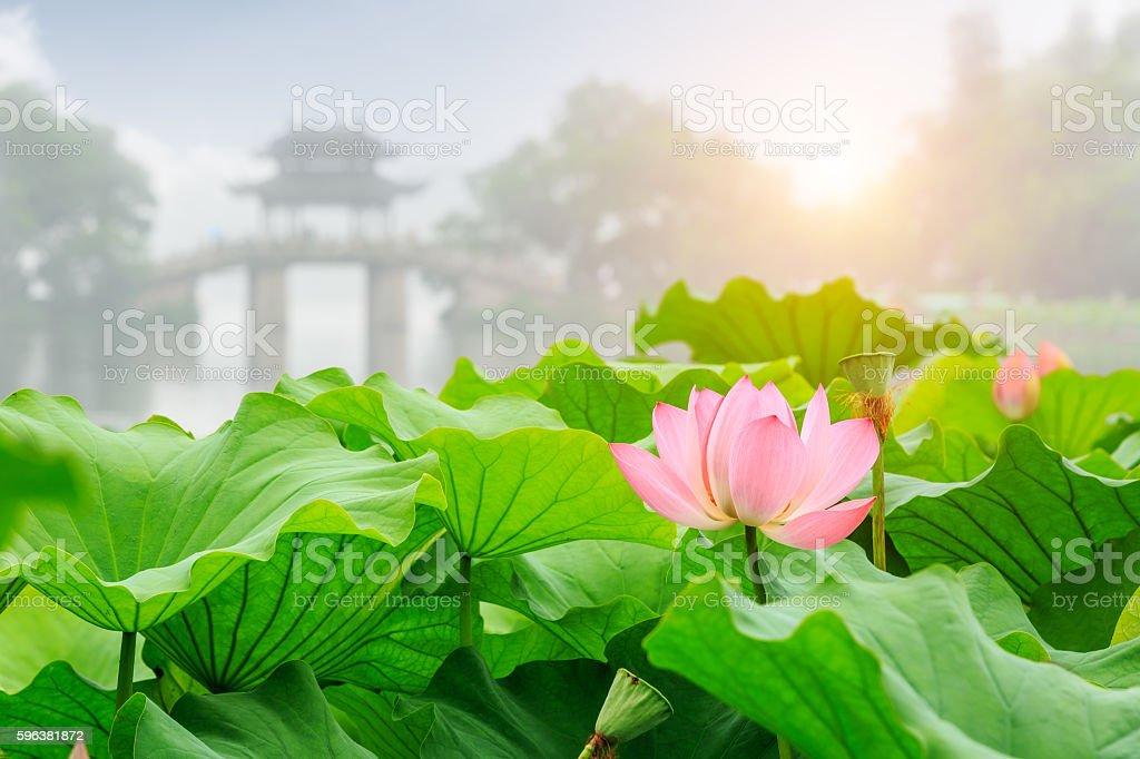 Hangzhou West Lake lotus bloom in the summer stock photo