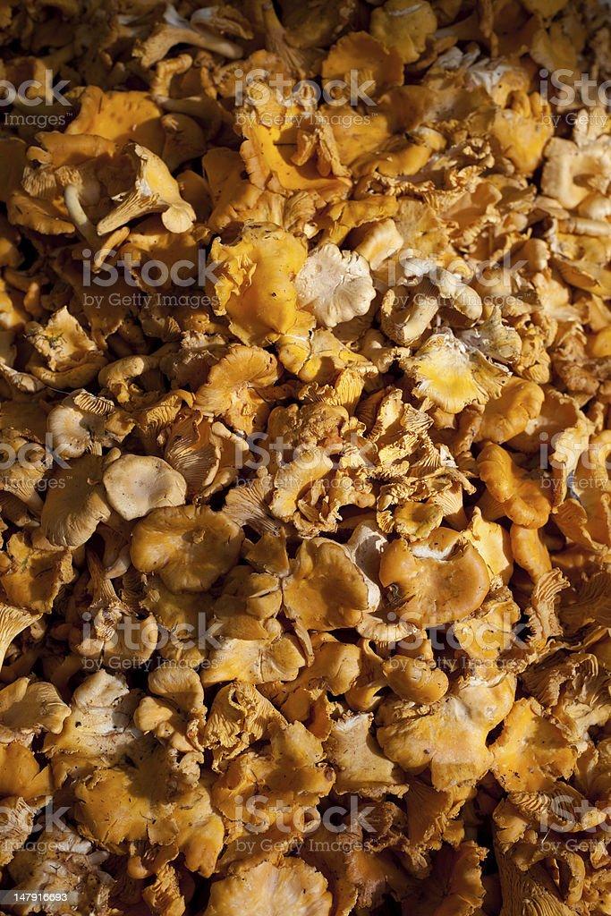 C hanterelles mushrooms royalty-free stock photo