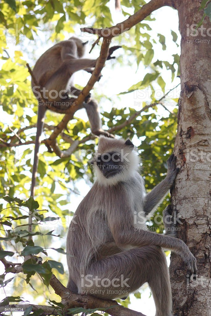 Hanuman Langur Monkeys on the branch at Anuradhapura (Sri Lanka) stock photo