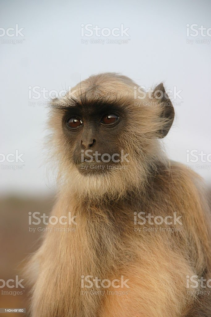 Hanuman langur royalty-free stock photo