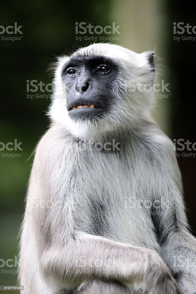 Hanuman Langur stock photo