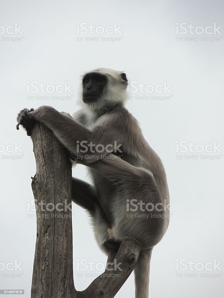 Hanuman Langur stock photo