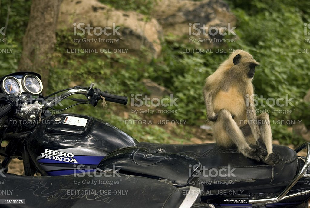 Hanuman langur, Ranthambore National Park, Rajasthan,  India royalty-free stock photo