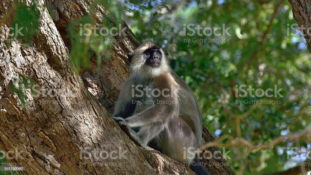 Hanuman Langure stock photo