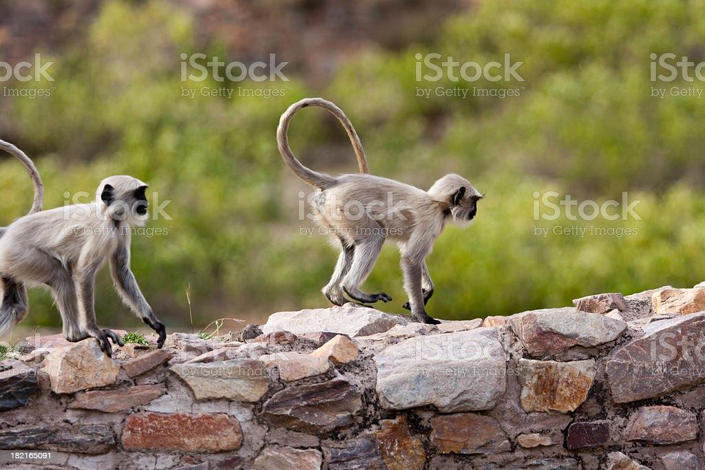 Hanuman-Langur Monkey royalty-free stock photo
