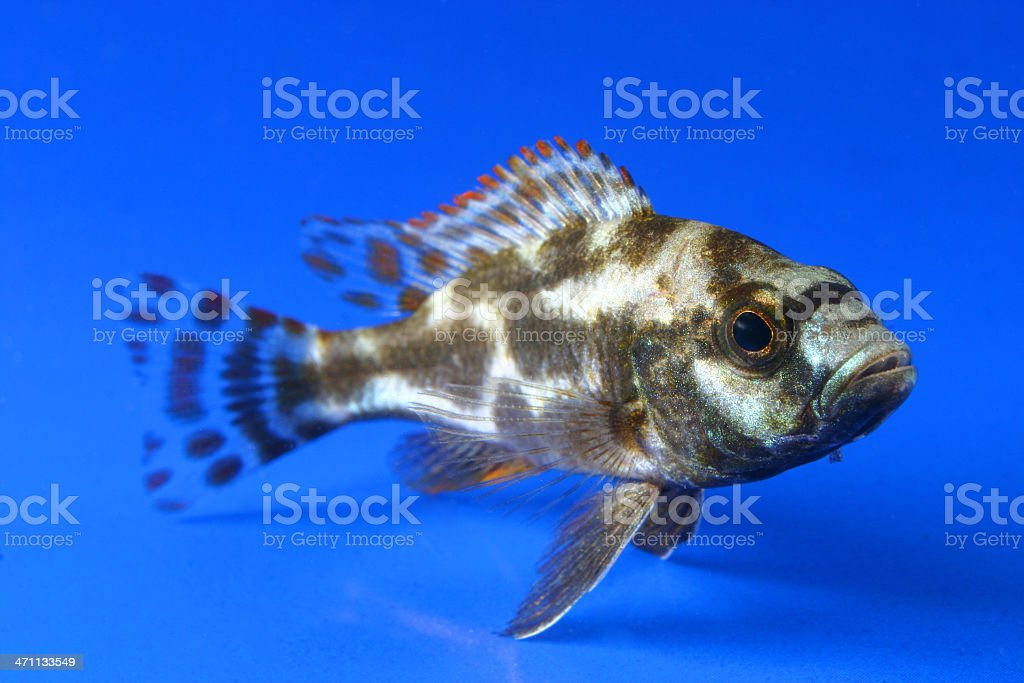Haplochromis livingstoni stock photo