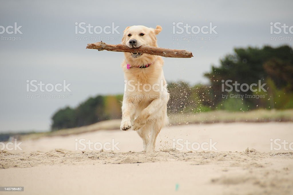Happiness of fetching royalty-free stock photo