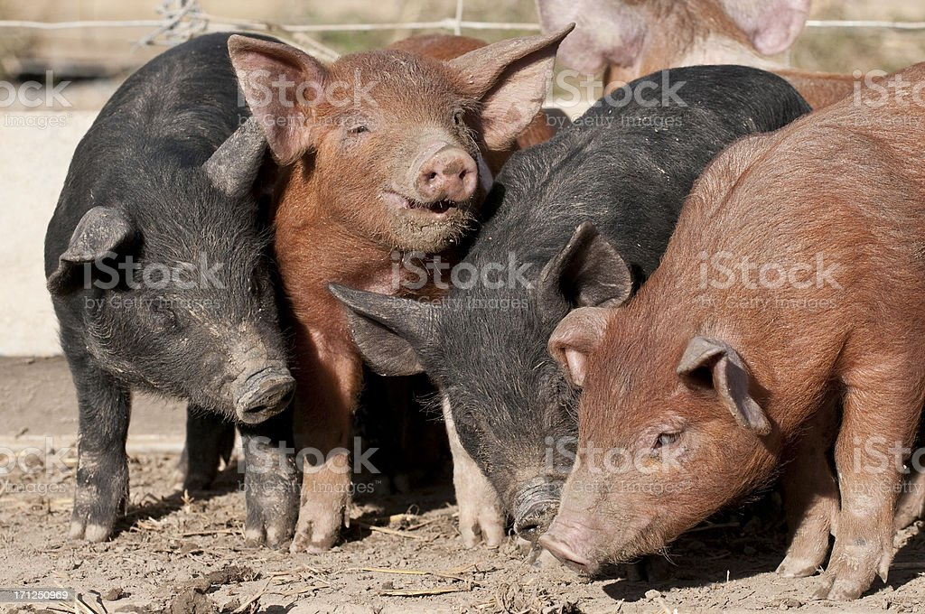 happy as a pig in muck stock photo