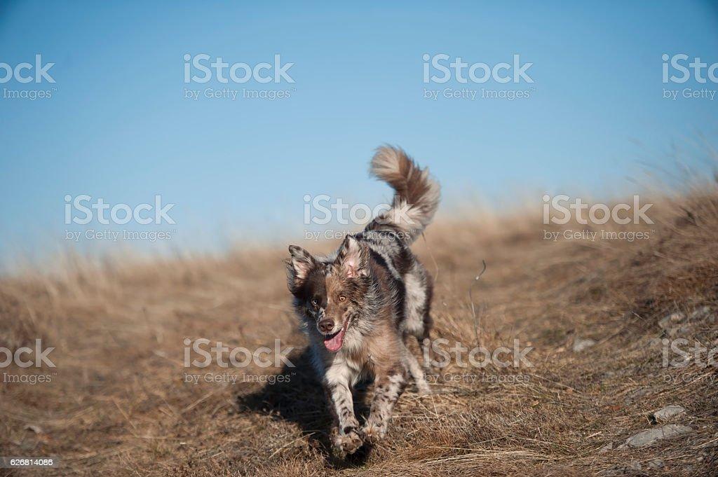 Happy Australian Shepherd in motion stock photo