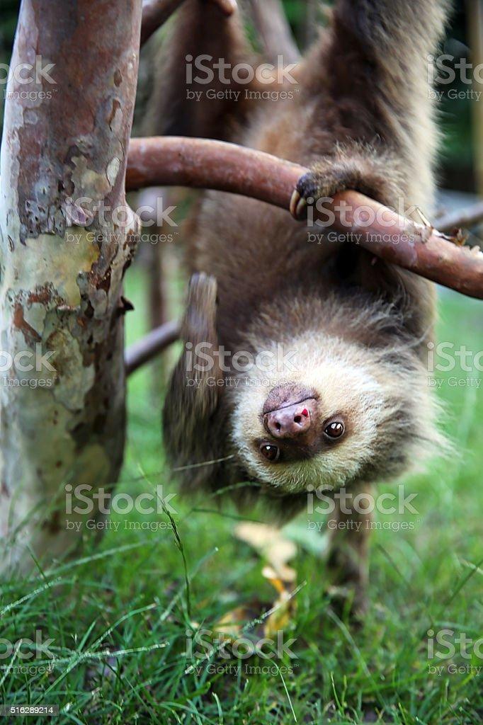 Happy Baby Sloth Hanging Upside Down stock photo