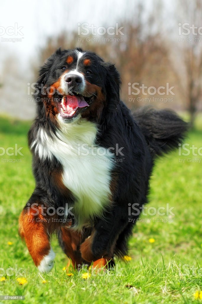 happy Beautiful Bernese mountain dog runs are fun stock photo