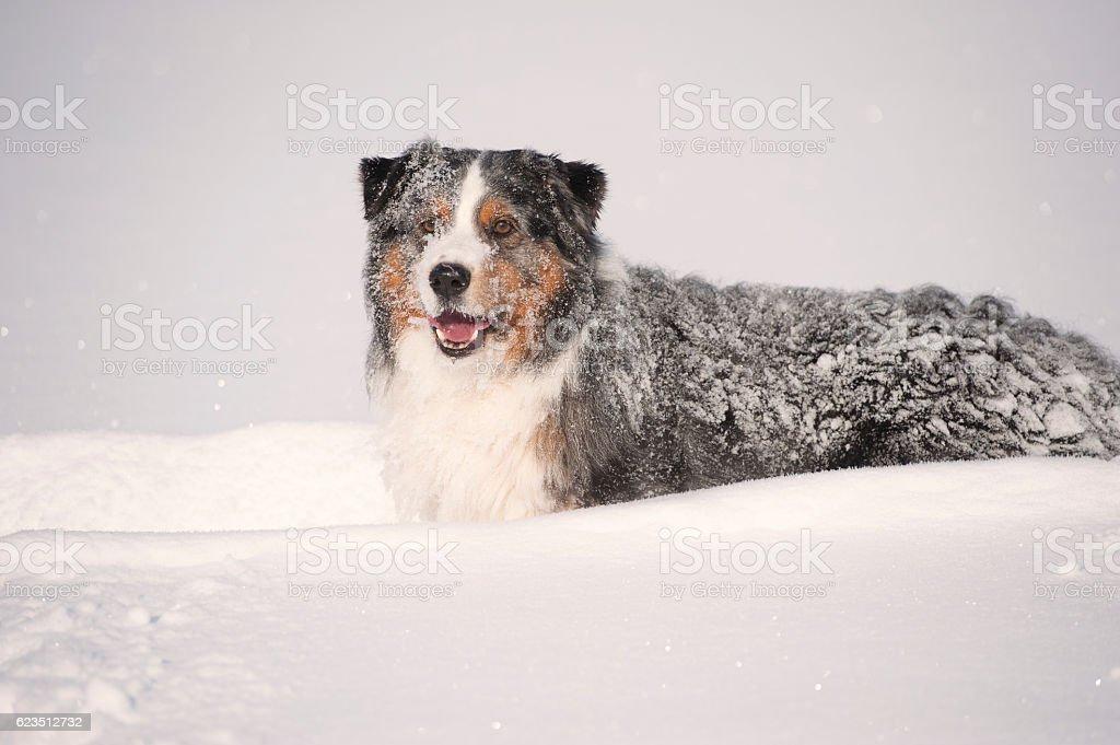 Happy Blue merle australian shepherd in deep snow stock photo