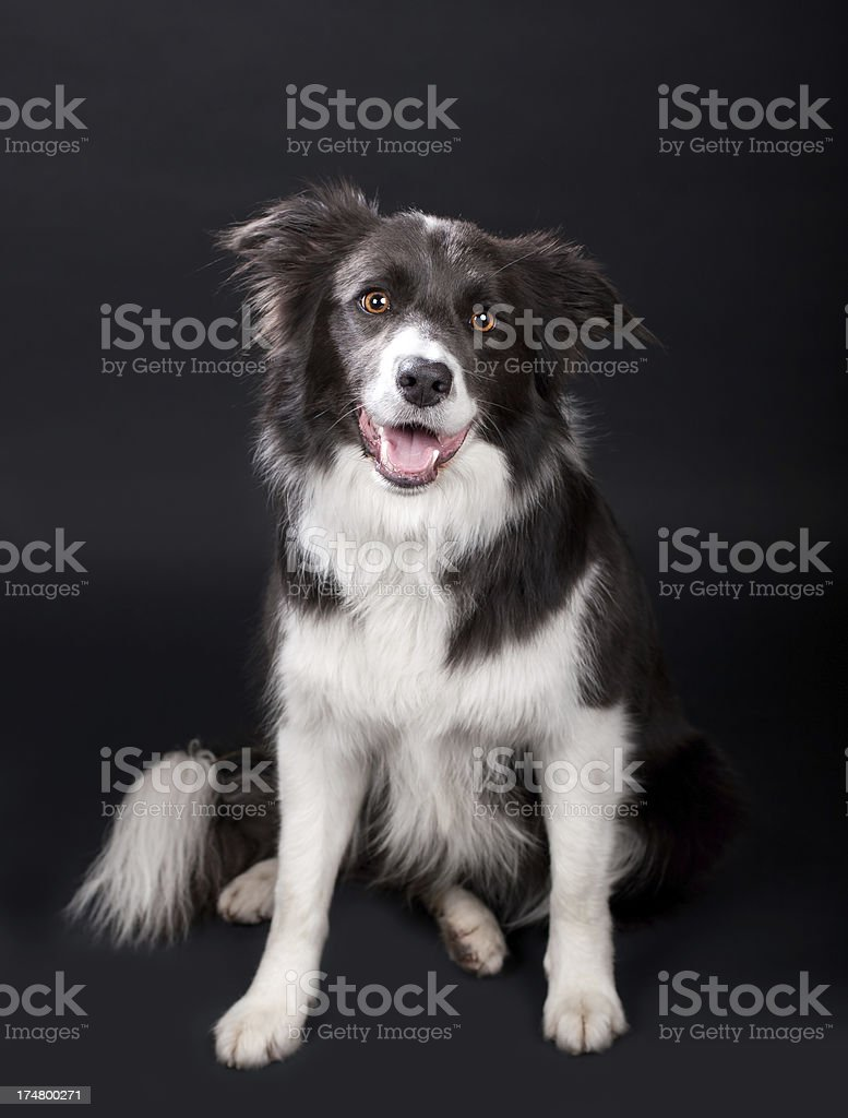 Happy Border Collie royalty-free stock photo