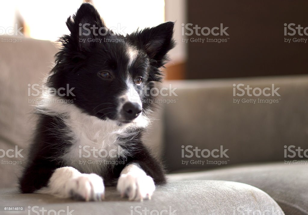 happy border collie puppy waiting on the couch stock photo