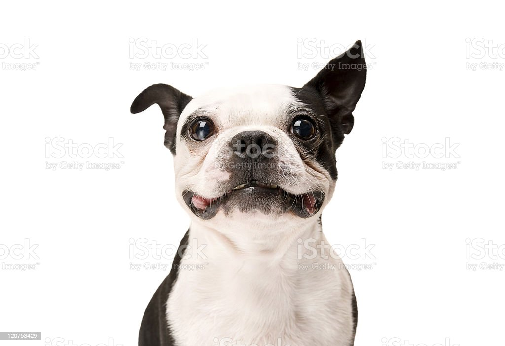 Happy Boston Terrier Dog on White Background stock photo