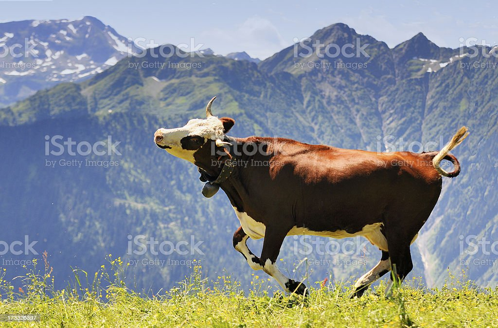 Happy brown and white cow running in field in the mountains stock photo
