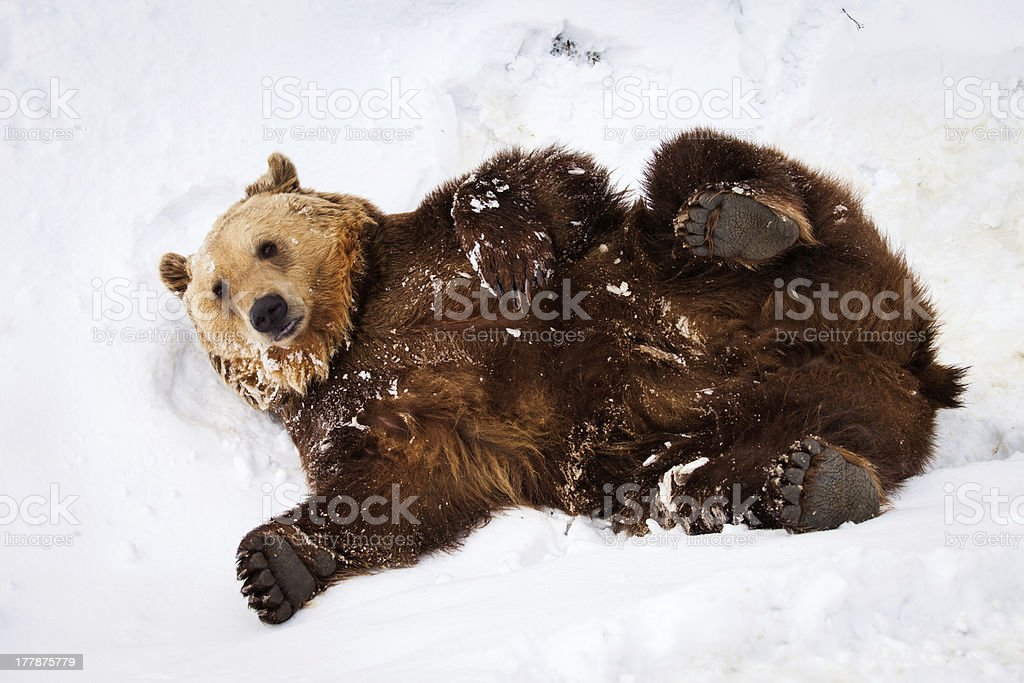 Happy brown bear playing in snow stock photo
