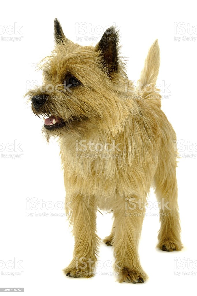 A happy Cairn Terrier isolated on a white background stock photo