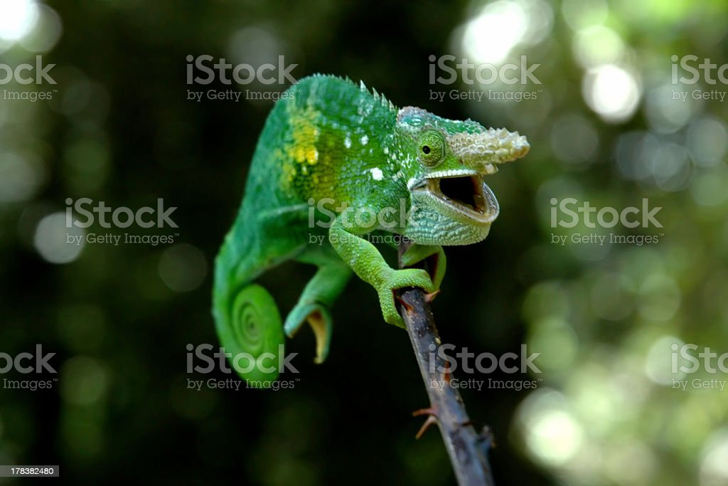 Happy chameleon royalty-free stock photo