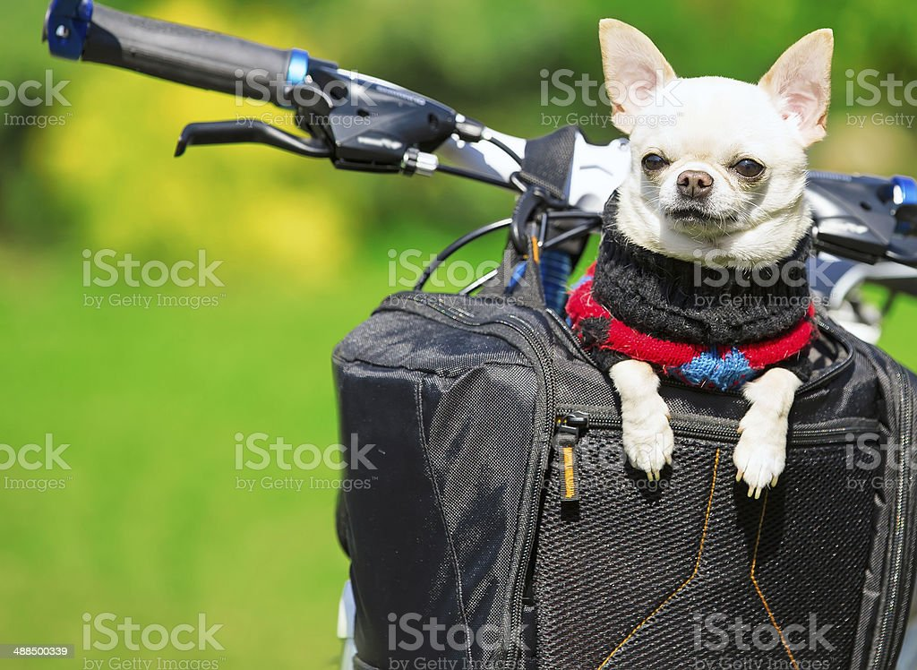 happy chihuahua in bicycle basket stock photo
