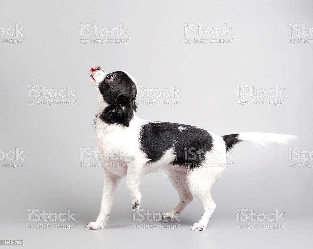 Happy chihuahua stock photo