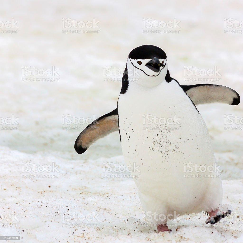Happy chinstrap Penguin stock photo