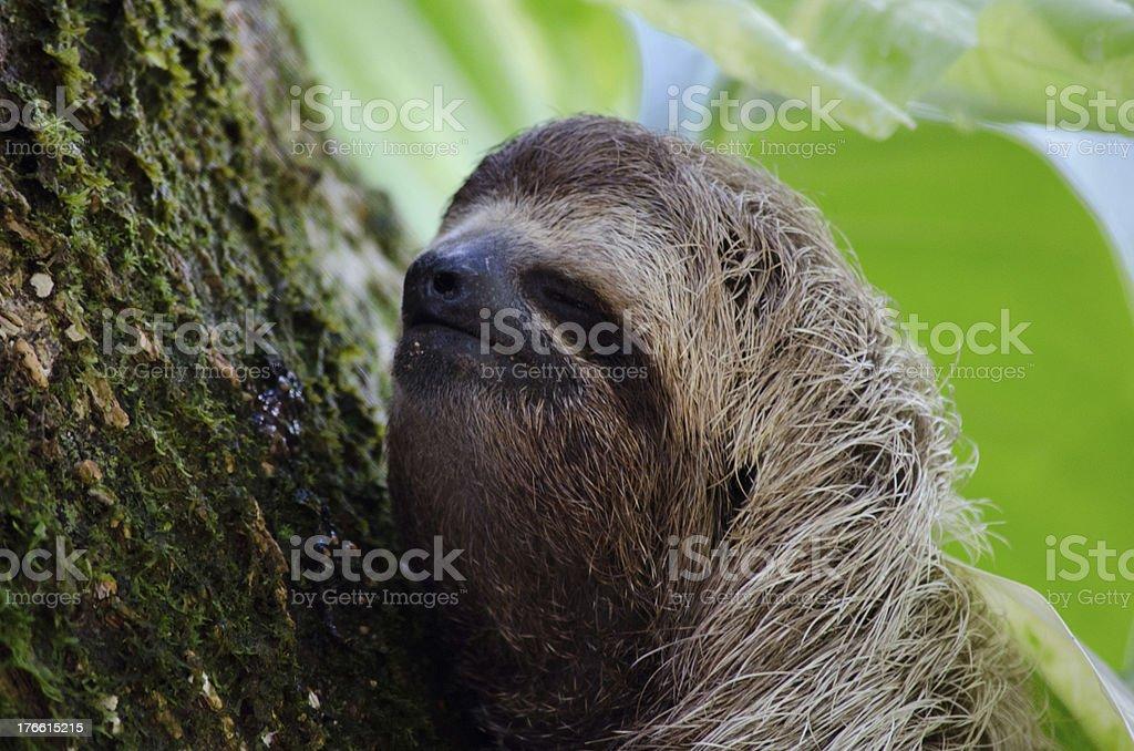Happy Closed Eye Sloth royalty-free stock photo