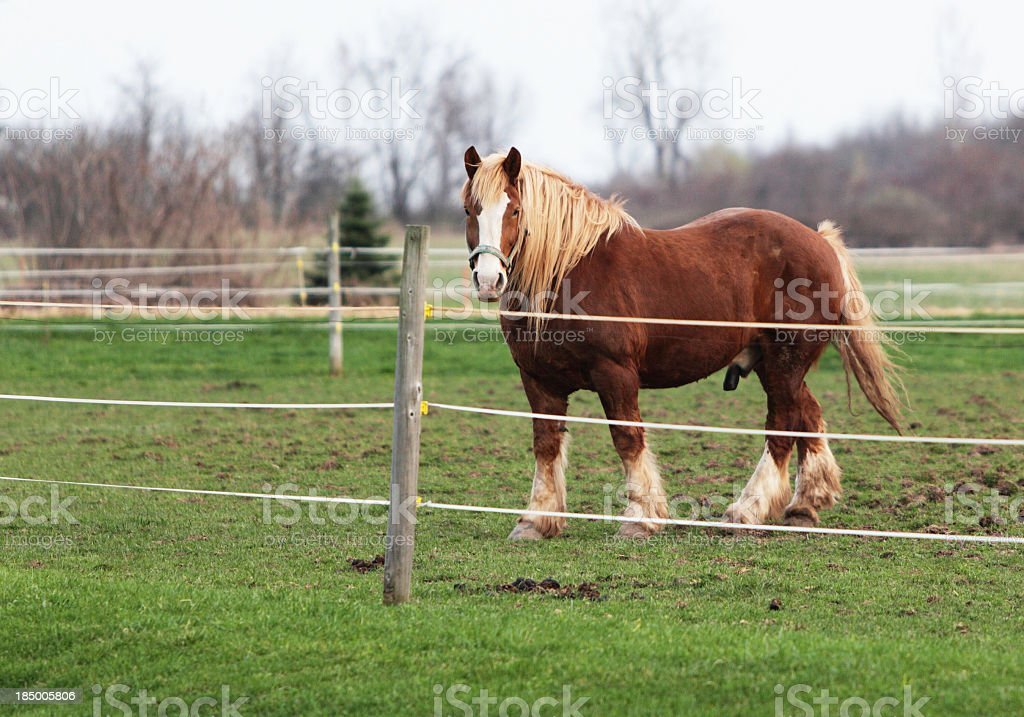 Happy Clydesdale Horse stock photo