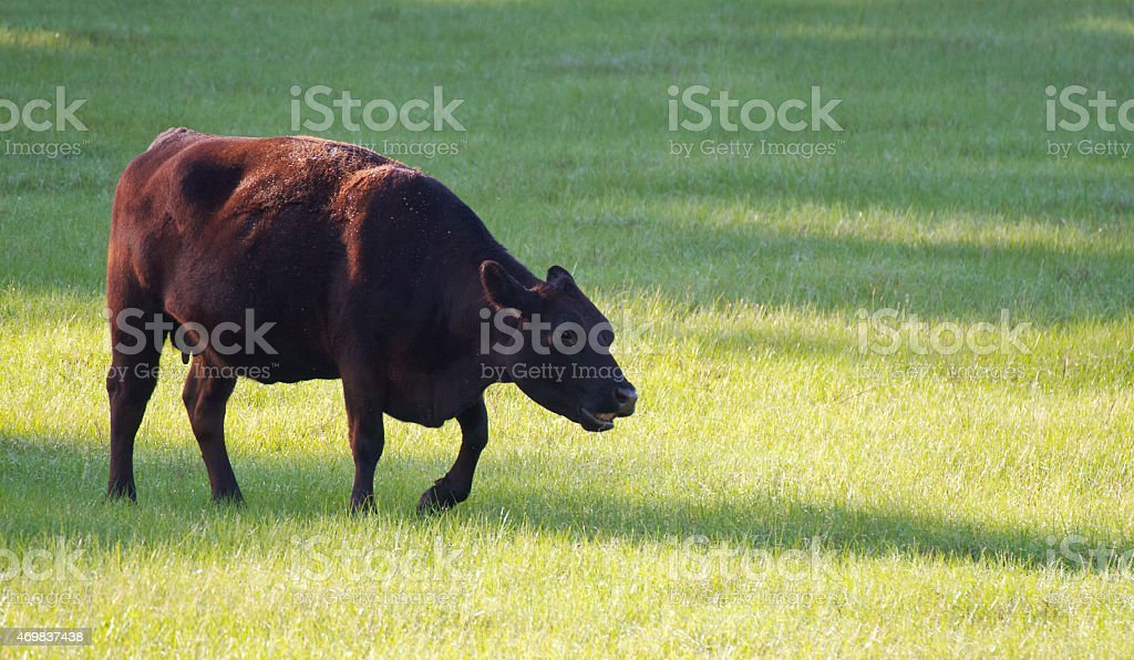 Happy Cow In A Pasture stock photo