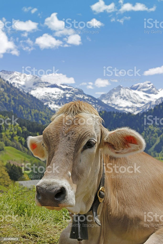 Happy cow in Austrian alps stock photo