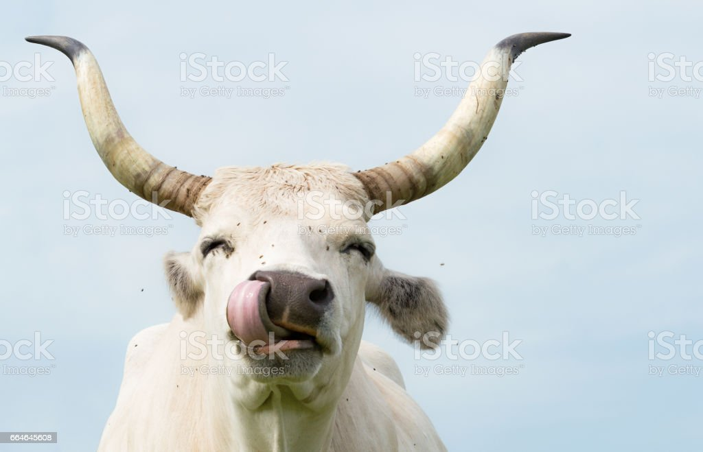Happy Cow Liking Own Nose with Flys stock photo