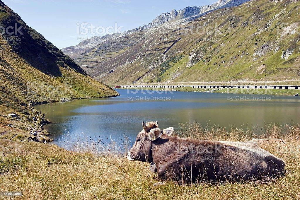 Happy cow. stock photo